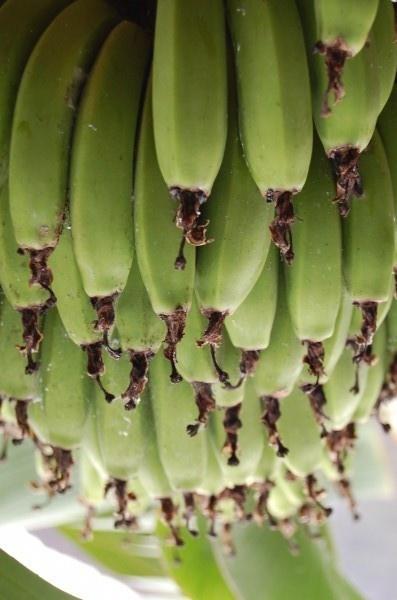 Bananas by MagdalenaS