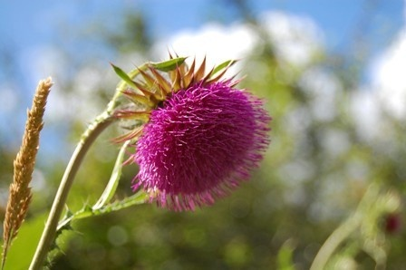 Musk thistle by Dartmoor1
