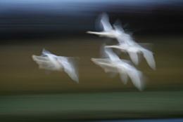 swans returning