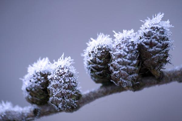 hoar frost by Steelpins