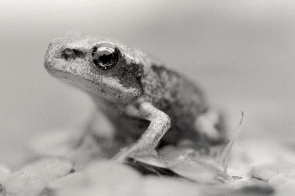 Froglet 3 by harvestman