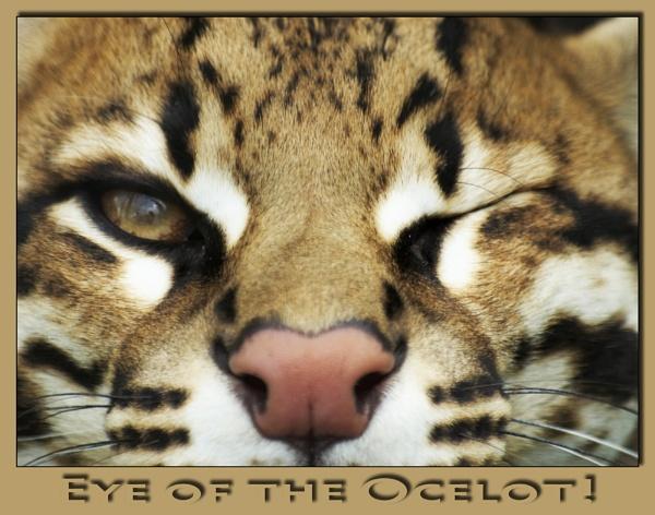 Eye of the Ocelot! by dwilkin