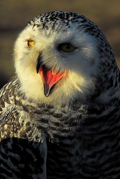 Snowy Owl by sneal