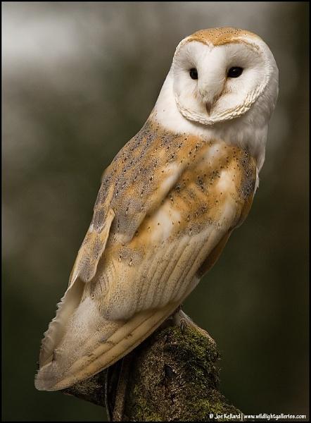 Barn Owl by WildLight
