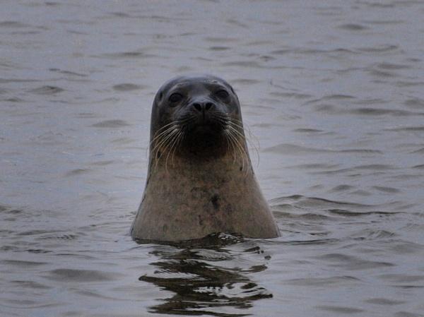 Seal by HaydnGreenow