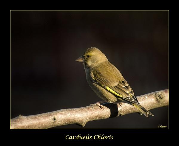 Carduelis Chloris by Valerie1