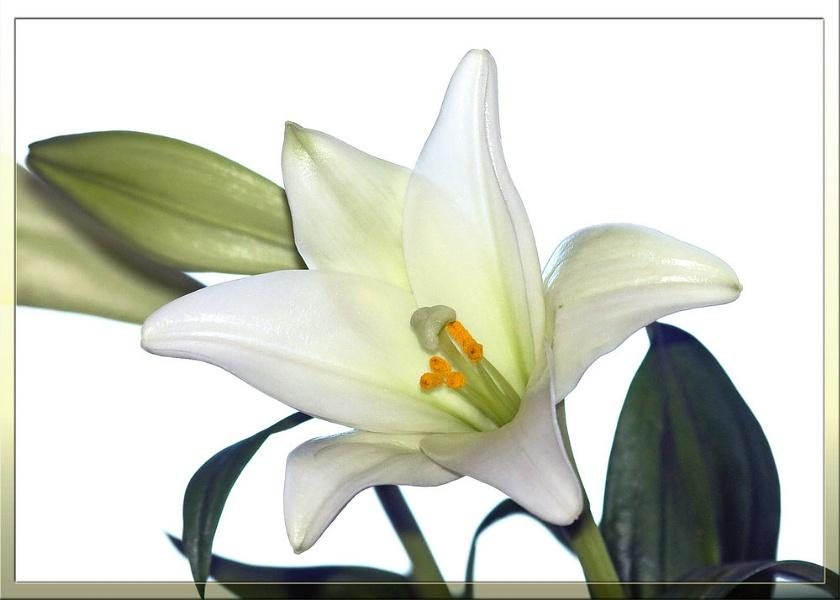 Lily Longiflorum