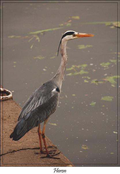 heron by ducatifogarty