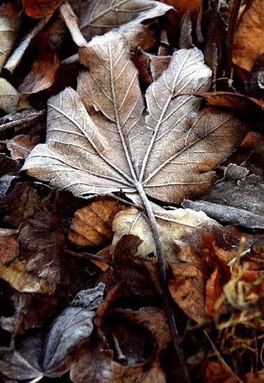 LOne frosty leaf by Ando