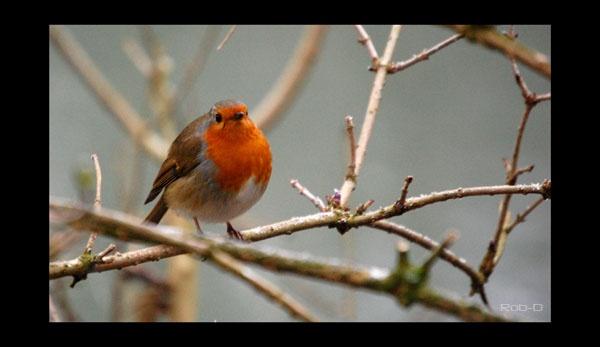 Red Robin by RobDavies