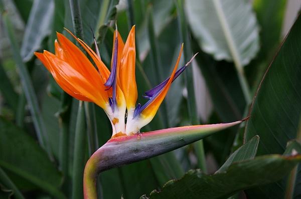 Bird of Paradise Flower by piotro
