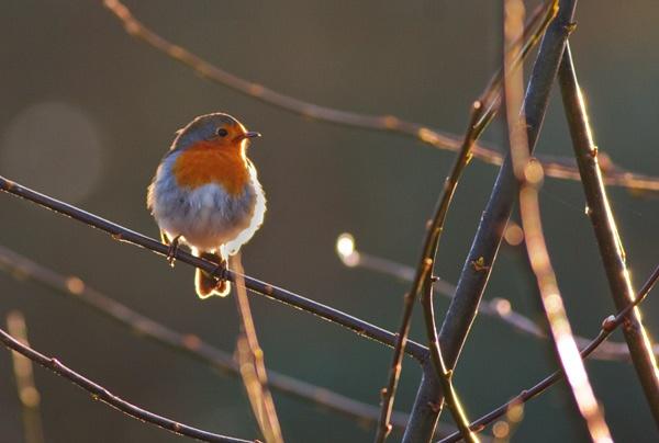 Backlit Robin by adybazz