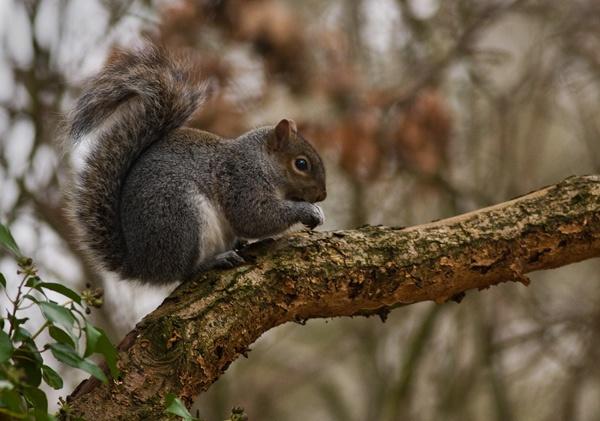 Tree Rat by adybazz