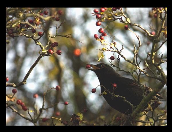 winter berries by dawnUK