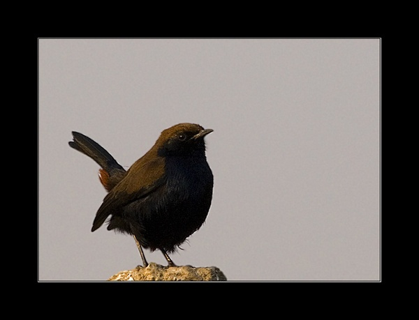 Indian Robin by nitinhopeindia