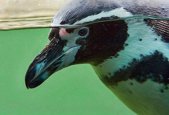 Underwater Penguin by Overread