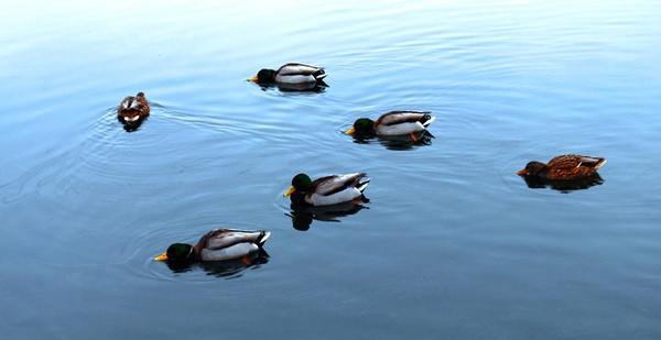 ducksss by chrismason