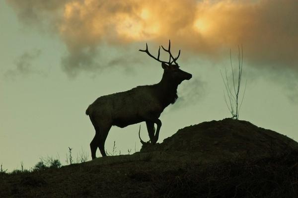 Elk on the hill by StuartDavie