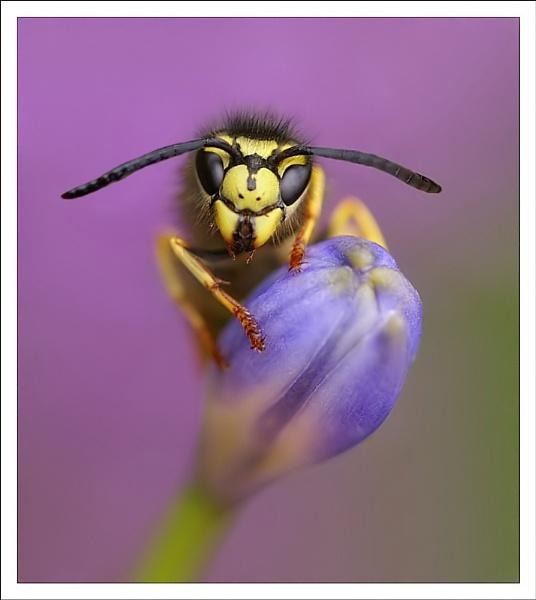 wasp by clintnewsham