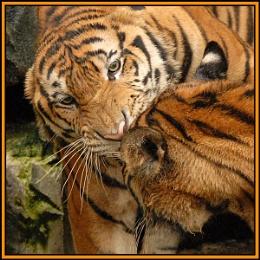 Tiger fight, round 2