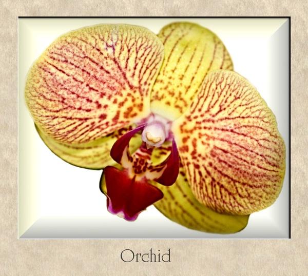 Orchid by Stuart463