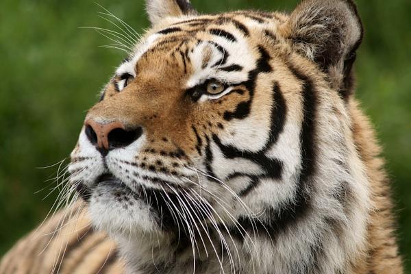 Ben\'s Tiger II by tigertimb