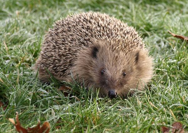 Hedgehog by whiteswan01