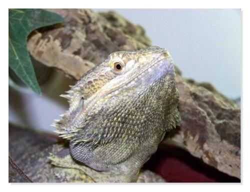 bearded dragon by kell19