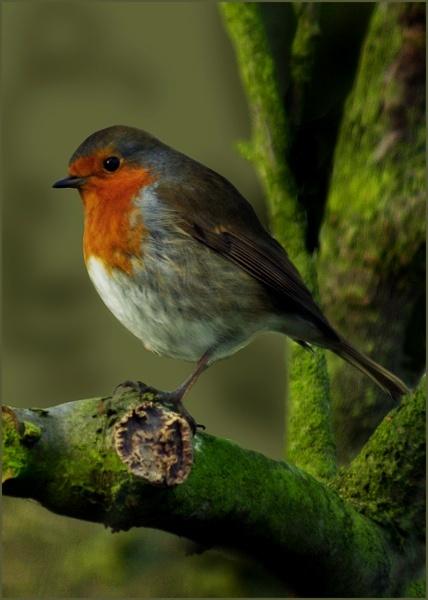 Robin on a branch by HilaryWhite
