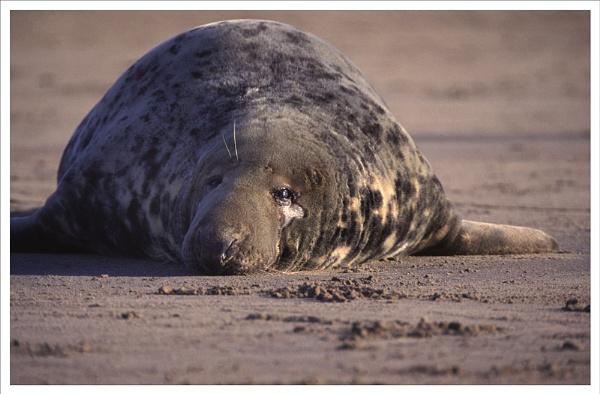 Bull Alantic Grey Seal by rontear