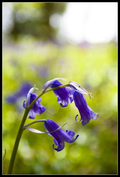 Bluebell by MonochromeTear