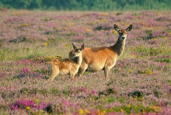 Exmoor Deer by bailey73