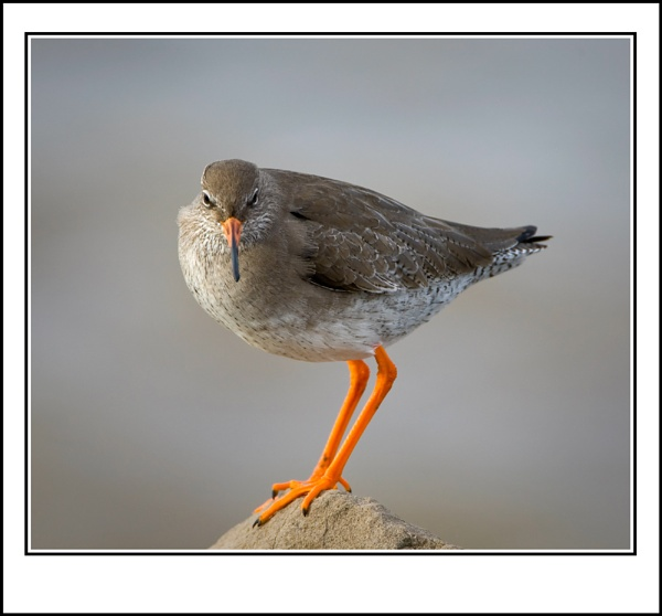 Redshank by ron thomas