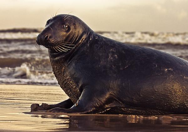 Grey Seal by Topcat