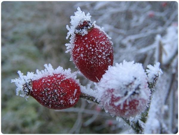 Frozehips by Glostopcat