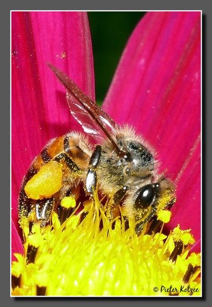 Bee by Pieter_Kotzee