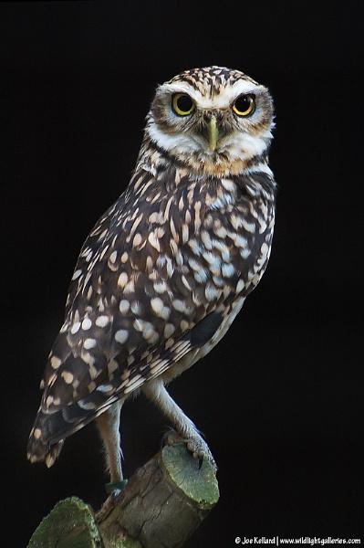 Little Owl by WildLight