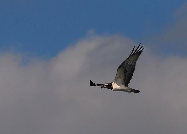 Osprey by markho