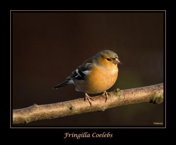 Fringilla Coelebs by Valerie1