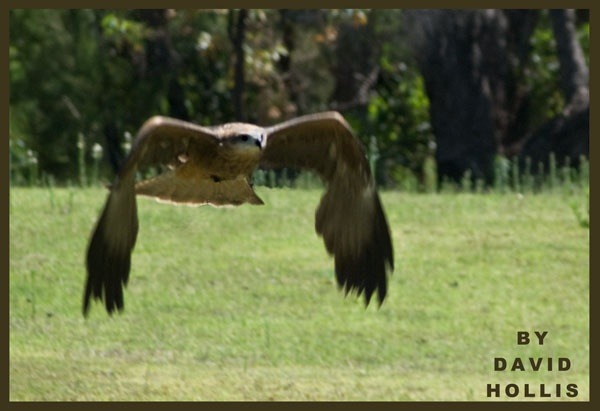 Wedge tailed Eagle in flight by ugly