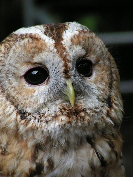 Tawney Owl by Meehan_C