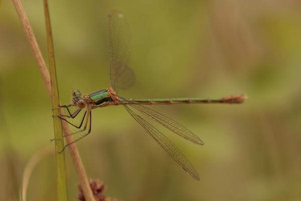damsel fly by blacklug