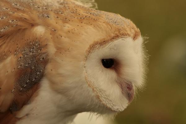 Barn Owl by blacklug