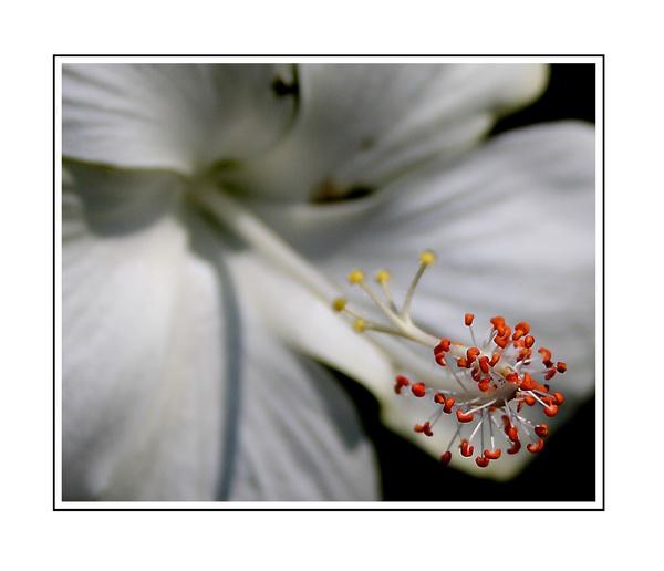 Flower Macro by nitinhopeindia
