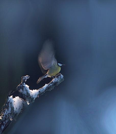 bluewings by maratsuikka