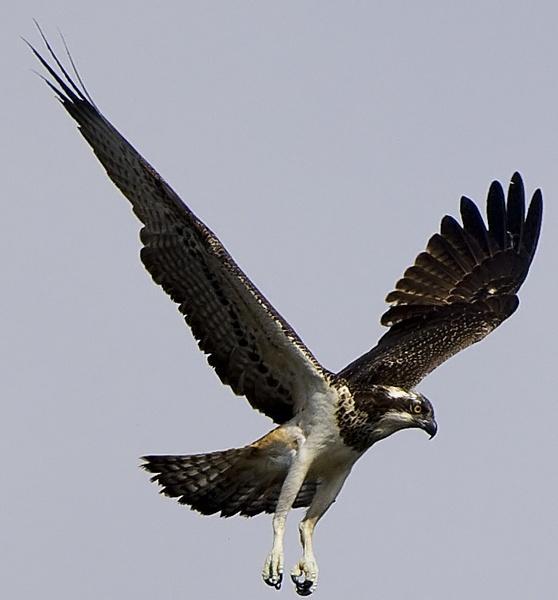 Osprey 4 by targetman