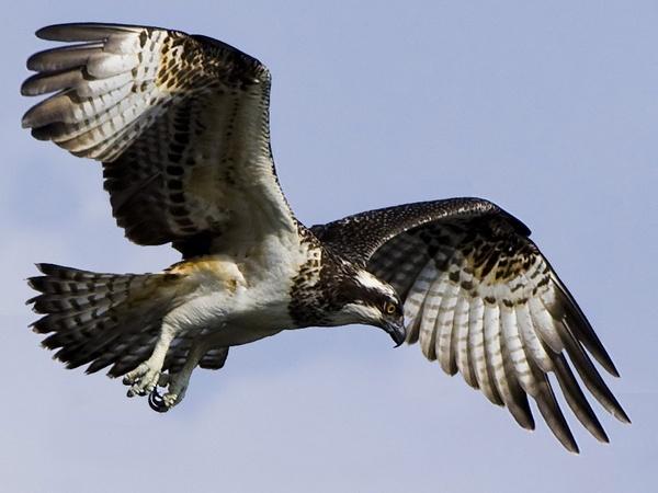 Osprey 2 by targetman