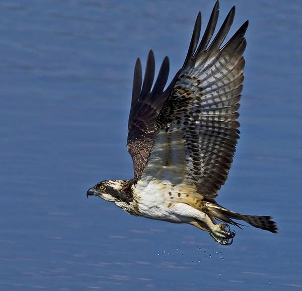Osprey 6 by targetman
