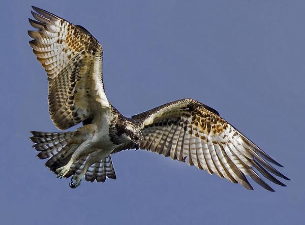 Osprey 8 by targetman