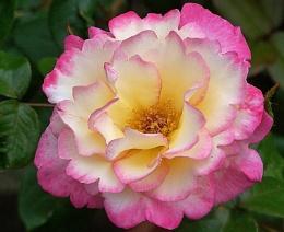 white & pink rose